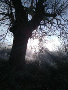 Castaño saliendo de la niebla en la ruta a Vega de Espinareda